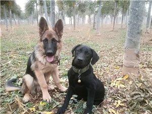 德牧犬和拉布拉多犬任选一出售