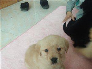 自家繁殖幼犬出售