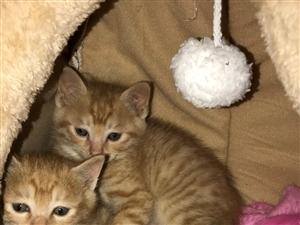 两个月大两只橘猫,会用猫砂,带笼子和窝