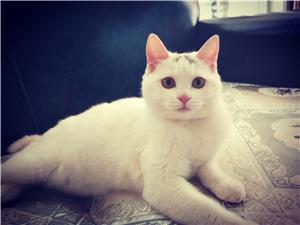 可愛的小母貓找適齡公貓配種