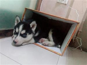 出售哈士奇幼犬