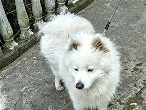 萨摩耶中犬