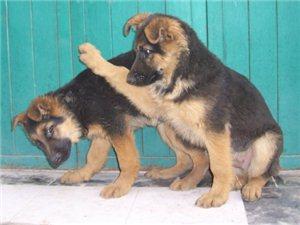 ��(ji)德��(guo)牧羊(yang)犬(quan)幼犬(quan) 公(gong)母都有 疫苗�R(qi)全(quan)