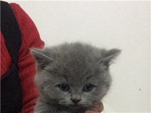 两个半月小蓝猫出售