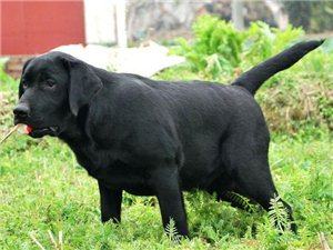 纯家养拉布拉多幼犬出售