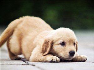 出售各�N狗狗,金毛,泰迪……