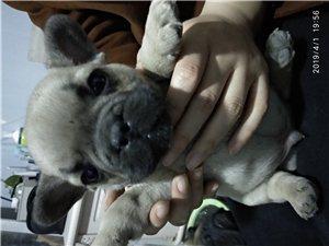 个人出售法斗两个多月幼犬