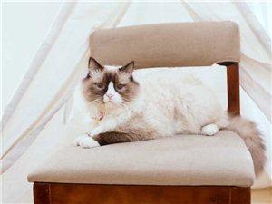 图中猫咪九月今天下午在格岚城酒店附近走丢