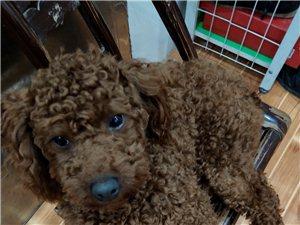 泰迪狗狗出售