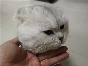 男猫银渐层英短