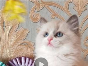 特價出售自家繁育布偶幼貓