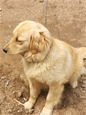 金毛母犬,低�r�D�