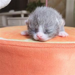英短蓝猫加白便宜出售