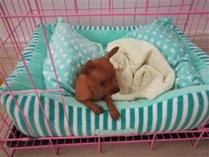 出售两个月可爱小鹿犬 公