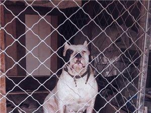 出售杜高母狗