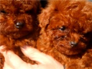 自家繁殖小�w泰迪幼犬出售