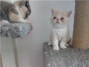 转让一个半月英短小奶猫
