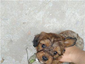 邻居家的宠物狗出售