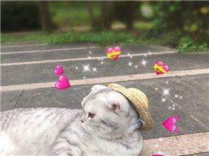 想领养一只中华田园猫。橘猫幼猫也行