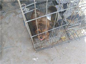 低价出售泰迪杂交犬一只