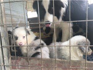 龙南窑头便宜出售一窝边境牧羊犬