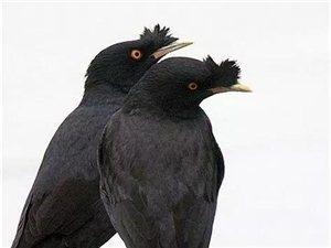 求购八哥幼鸟