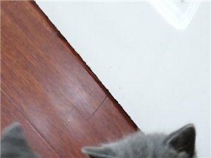 出售蓝猫幼猫