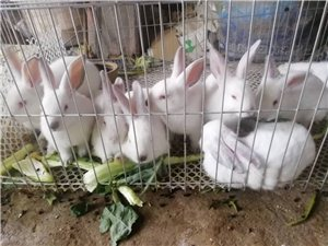 八點黑種兔