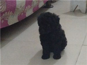 貴賓犬  黑色