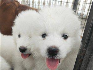 滿月薩摩耶幼犬