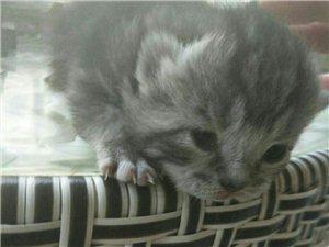 自家繁殖小貓出售
