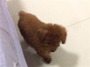 賣狗,70多天的小泰迪,養夠了,不想養了