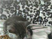 自家繁殖的宠物猫咪出售