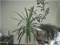 自家繁殖的宠物猫出售