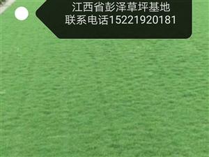 草坪批發  矮生百慕大   果嶺草   馬尼拉   聯系電話15221920181微信同號