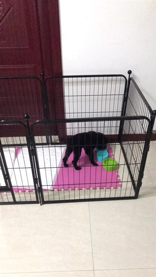 三个月母泰迪吃完打虫药打完疫苗了,爱狗人士想养小狗狗的可以联系我,狗狗的围栏 和所有用品狗粮,奶粉什...