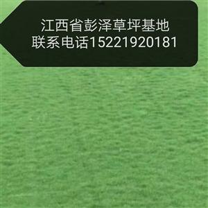 草坪批发    联系电话15221920181微信同号