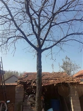 出售20多年的枣树,直径25个左右!有意者可以联系13793918522,光树干就4米多!整棵树7米...