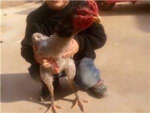 出售代购纯种斗鸡,有想要斗鸡的朋友给我联系。