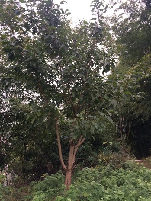 南溪刘家镇某村,有三棵黄桷树便宜处理了,共300元,自己来挖,距离公路有约100米;有需要的亲们联系...