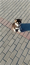 阿拉斯加犬,3个月,个人原因暂时养不了了,所以忍痛割爱出售,有需要的爱狗人士请致电,其余勿扰。