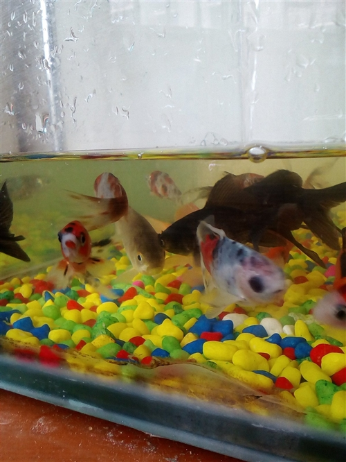 出售各种观赏鱼,金鱼,草金,五花锦鲫,乌龟,各种小型热带鱼,城区送货上门!喜欢的朋友加我微信kxy1...