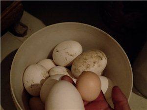 自家养的鹅,家里人都不喜欢吃鹅蛋,一共下了16个,一个15有需要的联系我,孕妇吃最合适了