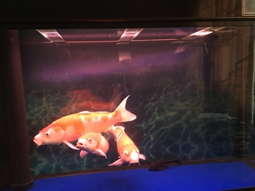 卖鱼和鱼缸   (森森鱼缸1m2*500)  4600元