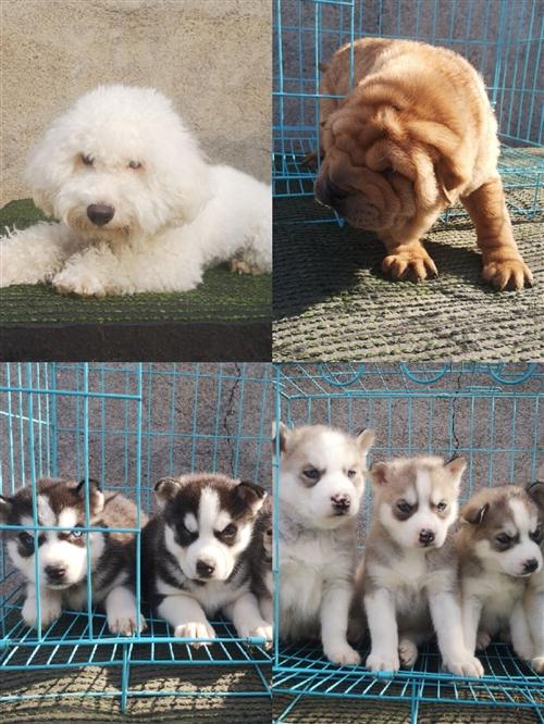 本犬舍場面出售各品種貓狗,價格驚喜,本地養殖戶一手貨源,詳情加微信了解   17663903151