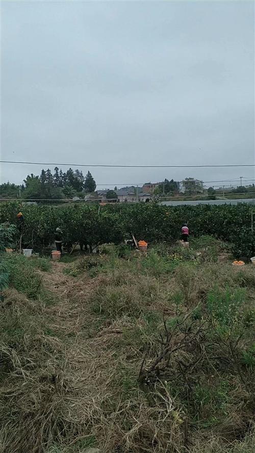 圳下果园转租:面积8.2亩,现有挂果大树200株