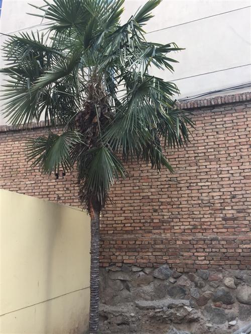 棕树两个在汇昌路电大付近
