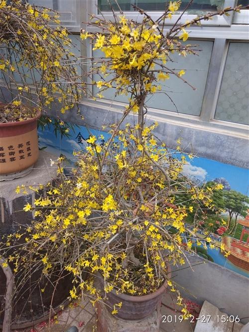 青州本地 出售30年迎春花两盆 有意者致电15153638027