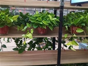 澳门威尼斯人在线娱乐各种绿箩,绿植,一盆起送,有需要的联系,微信同号