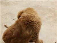 出售金毛犬。家里没人所以把他出售给有爱心的人。